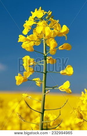 Detail Of Flowering Rapeseed Canola Or Colza In Latin Brassica Napus, Plant For Green Energy And Oil