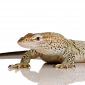 Freckled Monitor in front of a white background poster