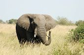 An African Elephant bull in the Savannah of the Kruger National Park South Africa. poster