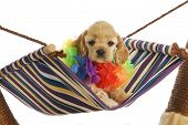puppy vacation - cute cocker spaniel puppy wearing hawaiian lei sitting in hammock poster