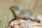 Columbian Ground Squirrel (Spermophilus columbianus) on a lichen-covered rock poster