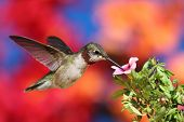 Juvenile Ruby-throated Hummingbird (archilochus colubris) in flight at a flower with a colorful background poster