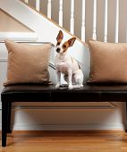 A portrait of a Rat Terrier lit to look like he is in the spotlight. poster