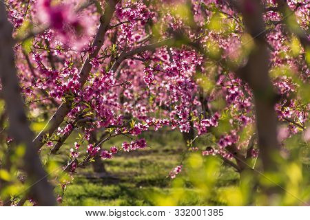 View Of Pink Peach Trees In Bloom. White And Pink Delicate Flowers. Pink And Fresh Tones On A Natura