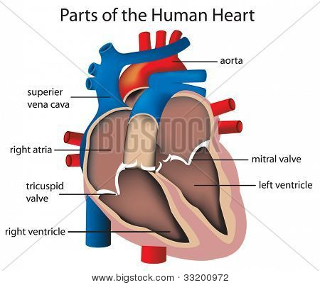 Illustration of parts of the heart - EPS VECTOR format also available in my portfolio.