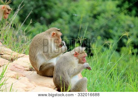 Cute Monkeys With Family. Monkey Closeup. Monkeys Living In The Wild.