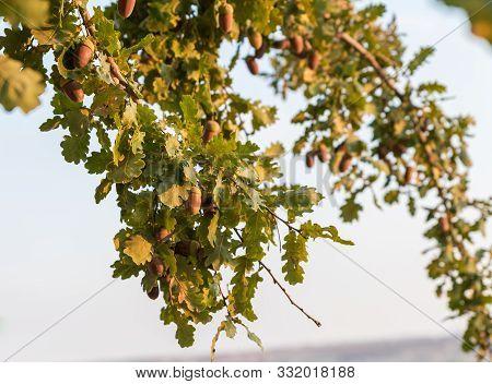 Sunset View Of A European Oak Branch With Acorns And Leaves In Samaria Region In Benjamin District,