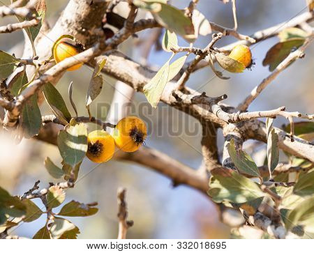 Branch Of A Wild Apple Tree With Fruits On The Ancient Shiloh Archaeological Site In Samaria Region