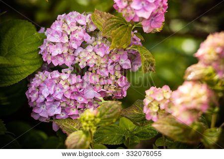 Brightening Things Up. Pink Hydrangea In Full Bloom. Blossoming Flowers In Summer Garden. Hydrangea