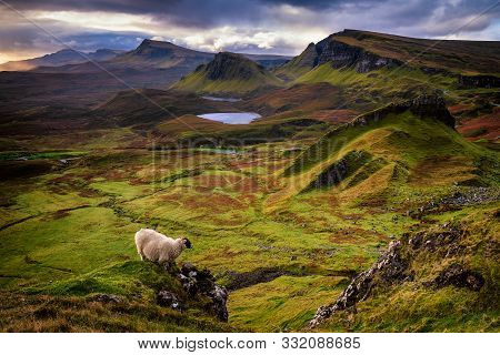 Sheep Are Free In Quiraing. They Climb Wherever They Like For The Precious Grass.