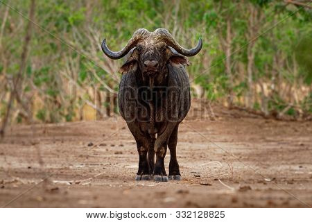 African Buffalo - Syncerus Caffer Or Cape Buffalo Is A Large Sub-saharan African Bovine. Portrait In
