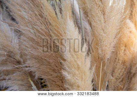 Cortaderia Selloana Or Pampas Grass With Graceful White Inflorescence Plumes Flowering In October, G