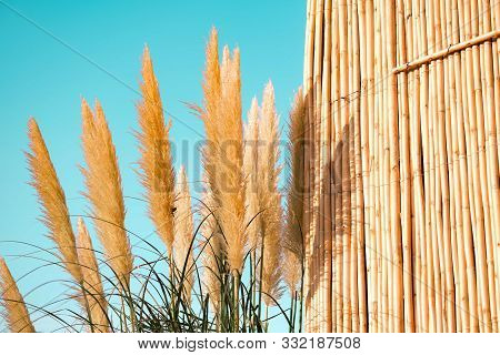 Pampas Grass Plumes. Crema Color Fluffy Plants Close Up.fluffy Feathery Plant