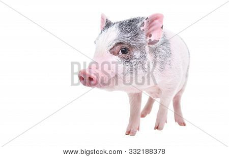 Funny Little Vietnamese Piggy Standing Isolated On White Background