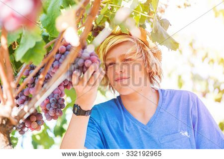 Young Winemaker In Straw Hat Examining Grapes During Vintage. Traditional Winery Culture And Winemak