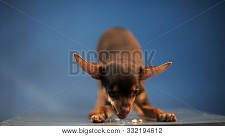 Russian Toy Terrier Eats Food On A Blue Background. Small Manual Domestic Dog. The Concept Of Pets.