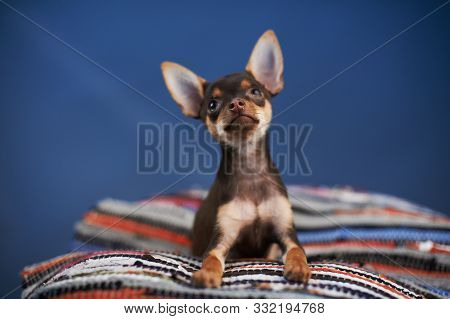 Funny Russian Toy Terrier Sitting On A Striped Plaid On A Blue Background. Small Manual Domestic Dog