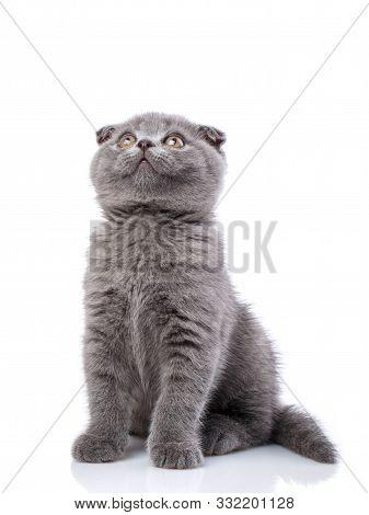 Scottish Fold Kitten Isolated On A White Background. Gray Cat Sits Sideways