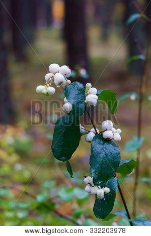 White, Inedible Berries On The Branches Of A Bush In The Forest.