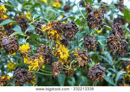 Autumn Wilting Of Yellow Garden Flowers Coreopsis Grandiflora. Ornamental Plants Wilted, Dried And D