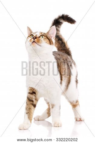 Happy Cat On A White Background. A Cute Cat Stands On A White Background And Looks Up