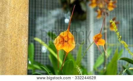 San Francisco, Usa - August 2019: Colorful Dracula Orchid In Conservatory Of Flowers In Golden Gate