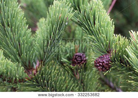 Douglas Fir (pseudotsuga Menziesii) Branch With Cones Closeup Background.