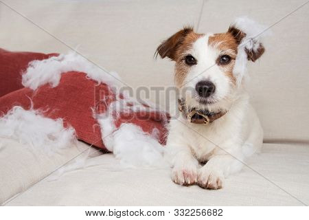 Guilty Dog Mischief. Funny Jack Russell Alone At Home After Bite And Destroy A Pillow, Sitting Over