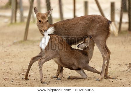 two deers in indecent sexual position in Nara park, Japan