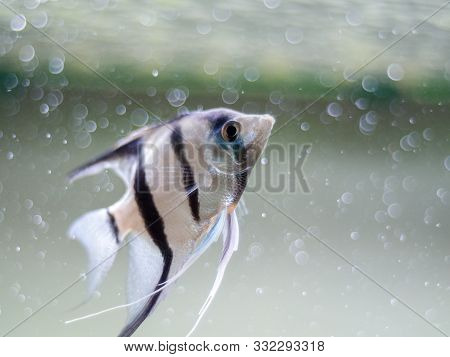 Angelfish In A Fish Tank With Blurred Bubbles Background