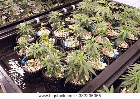 Hydroponic Beds Of Cannabis Seedlings. The Cultivation Of Marijuana.