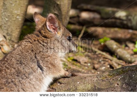 A Parma Wallaby