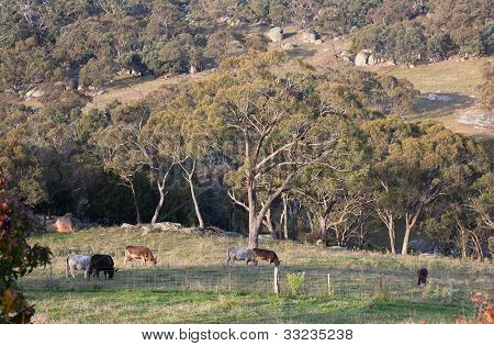 Cows On A Rocky Farmland. Tablelands Near Oberon. New South Wales. Australia.