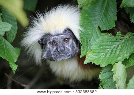 Cotton Top Tamarin, Saguinus Oedipus, With Eyes Wide Open Looking Out From And Framed By Leaves With