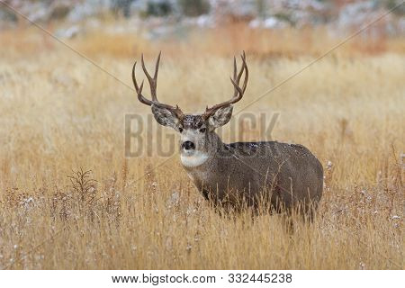 Wildlife Of Colorado. Wild Deer In Their Natural Environment In Colorado.