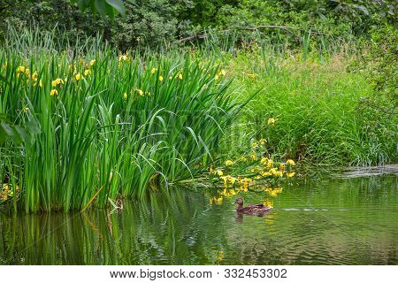 Iris Marsh On A Pond, A Pond With Yellow Flowers, Yellow Iris, Marsh Vegetation
