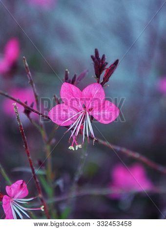 Gaura Lindhemeria, Pink Gaura Flower. Other Name Is Oenothera Lindheimeri.
