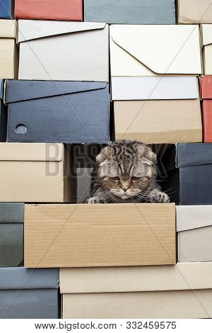 Сute, Frowned Cat Scottish Fold Climbed Into A Pile Of Folded Shoe Boxes And Stared Down. Сopy Space