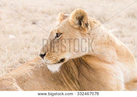 Lioness Close Up. Serengeti National Park, Tanzania, Africa