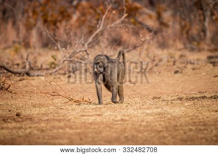 Chacma Baboon Walking In The Grass.