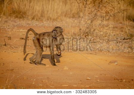 Chacma Baboon Standing In The Grass In The Welgevonden Game Reserve, South Africa.