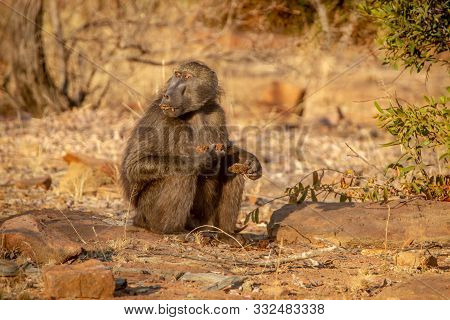 Chacma Baboon Sitting And Eating.