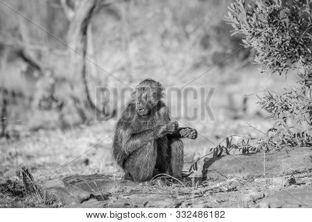 Chacma Baboon Sitting And Eating In The Grass.
