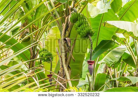 The Banana Flower And Bananas On The Tree