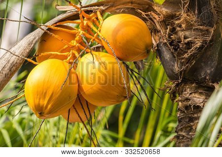 Yellow Coconuts Of Seychelles. Raw And Healthy