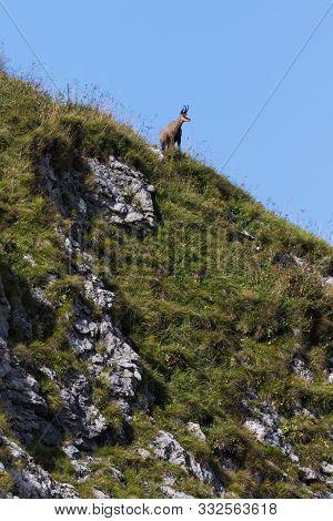 Chamois In Its Natural Habitat, Stones, Rocks, Mountain Cliff