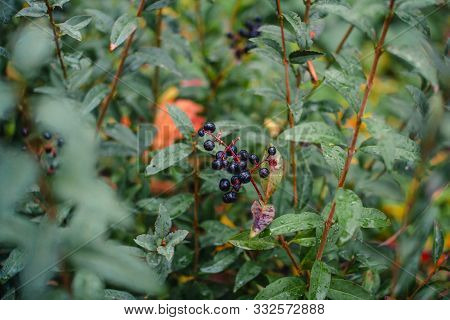 Close Up Privet Plant - Ligustrum Vulgare Shrub Branches With Black Berries And Rain Drops On Green