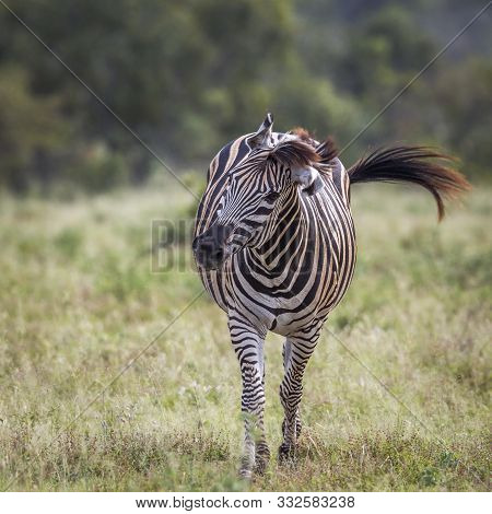 Plains Zebra Walking In Front View In Kruger National Park, South Africa ; Specie Equus Quagga Burch