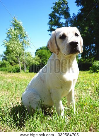 Young Labrador Puppy Observing The Nature Around Her