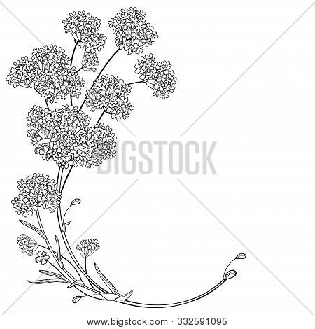 Vector Corner Bouquet Of Outline Verbena Or Argentinian Vervain Flower In Black Isolated On White Ba